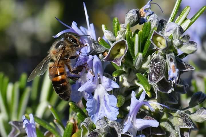 La fleur de romarin est très appréciée des abeilles.