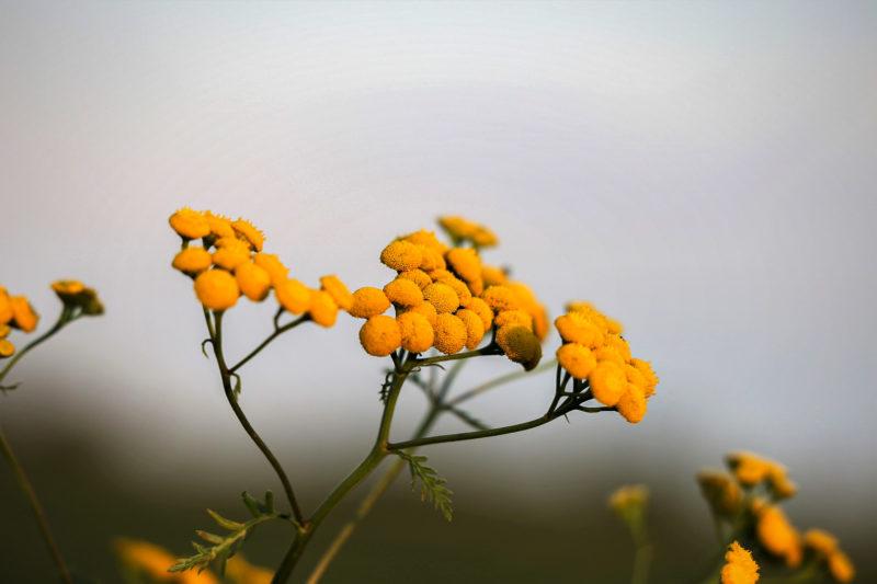 Fleurs Immortelle